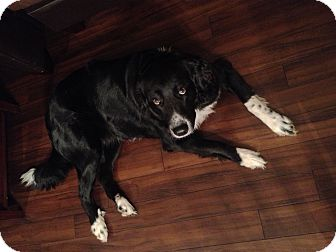 Labrador Retriever/Border Collie Mix Dog for adoption in Montgomery City, Missouri - Paisley