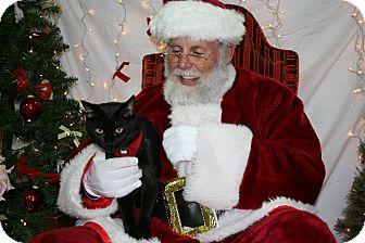 American Shorthair Cat for adoption in Salem, Oregon - Jake
