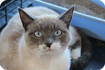 Snowshoe Cat for adoption in Santa Monica, California - Lauren