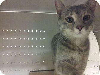 Domestic Shorthair Cat for adoption in Plainfield, Illinois - Junior