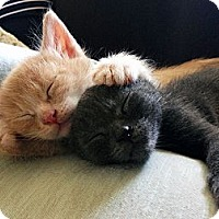 Adopt A Pet :: MORE KITTENS!!!! - Los Angeles, CA