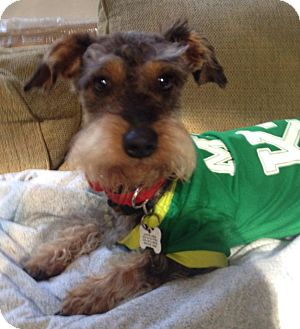 Schnauzer (Miniature)/Dachshund Mix Dog for adoption in Redondo Beach, California - Flanagan