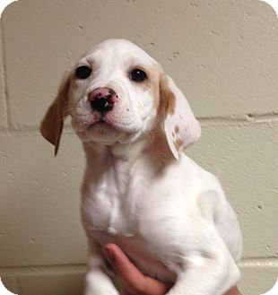 Pointer Mix Puppy for adoption in East Windsor, Connecticut - Gema