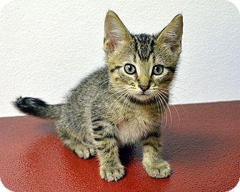 Domestic Shorthair Kitten for adoption in Springfield, Illinois - Rider