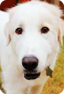 Great Pyrenees Mix Dog for adoption in Kyle, Texas - Charlie