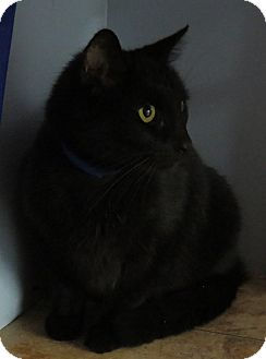 Domestic Shorthair Cat for adoption in Georgetown, South Carolina - Coal