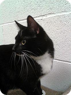 Domestic Shorthair Cat for adoption in Las Vegas, Nevada - Panda Bear