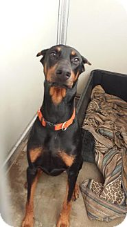 Doberman Pinscher Dog for adoption in Westminster, California - Rocky