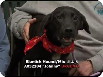 Bluetick Coonhound/Labrador Retriever Mix Puppy for adoption in Newnan City, Georgia - Johnny