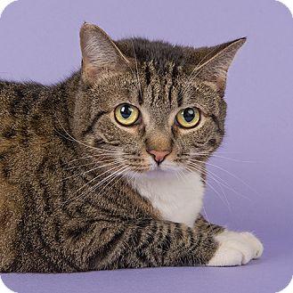 Domestic Shorthair Cat for adoption in Wilmington, Delaware - Jane