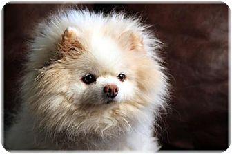 Pomeranian Dog for adoption in Dallas, Texas - Kiki