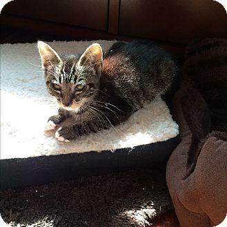 Domestic Mediumhair Kitten for adoption in San Ramon, California - Orb