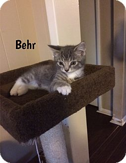 Domestic Shorthair Kitten for adoption in Huntsville, Ontario - Behr - Adopted November 2016