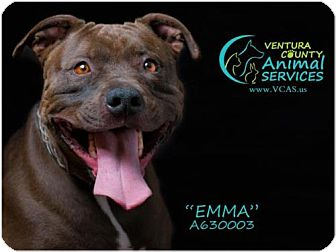 Pit Bull Terrier Dog for adoption in Camarillo, California - EMMA