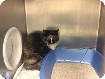 Domestic Mediumhair Cat for adoption in Janesville, Wisconsin - Oona