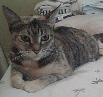Calico Cat for adoption in oakland park, Florida - Athena