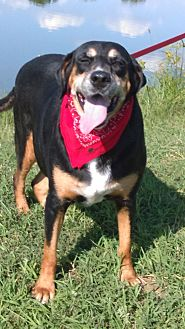 Greater Swiss Mountain Dog/Coonhound Mix Dog for adoption in sommerville, Massachusetts - Margarita
