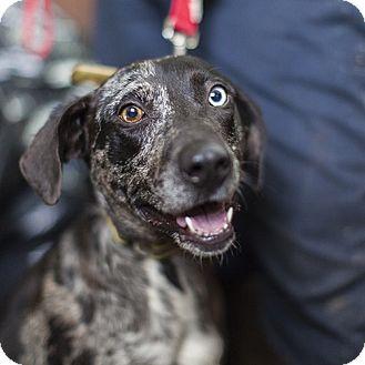 Catahoula Leopard Dog Mix Dog for adoption in Severance, Colorado - MACI