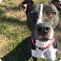 Adopt A Pet :: Frenchie - Chico, CA