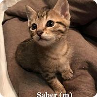 Adopt A Pet :: Saber - Bentonville, AR