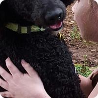 Adopt A Pet :: Brittney - Alpharetta, GA