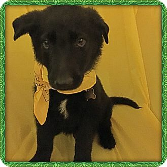 German Shepherd Dog Puppy for adoption in Detroit, Michigan - Charleston-Adopted!