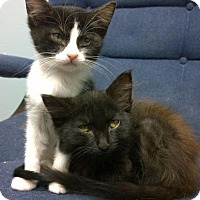 Adopt A Pet :: Atticus (and Coco Puff) - Little Rock, AR