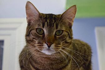 Bengal Cat for adoption in Island Park, New York - Jenny