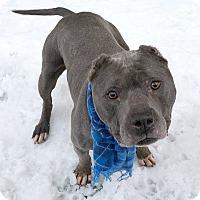 Adopt A Pet :: Puma - Richmond, VA