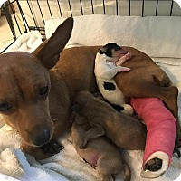 Adopt A Pet :: Honey/Baby Girl - Darien, GA