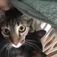 Adopt A Pet :: Kikapu - Belle Chasse, LA
