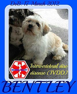 Maltese/Lhasa Apso Mix Dog for adoption in Mount Royal, Quebec - BENTLEY