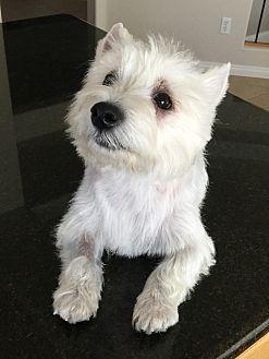 Westie, West Highland White Terrier Mix Dog for adoption in Las Vegas, Nevada - Kierstie aka FiFi