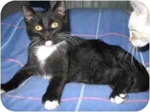 Domestic Shorthair Kitten for adoption in Okotoks, Alberta - Jasper