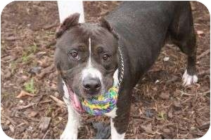American Staffordshire Terrier Mix Dog for adoption in Islip, New York - Jewel