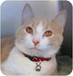 Domestic Shorthair Kitten for adoption in Indian Rocks Beach, Florida - Ricky