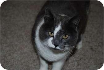 Domestic Shorthair Cat for adoption in Ogden, Utah - Sophia