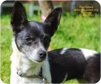 Rat Terrier/Chihuahua Mix Dog for adoption in Yuba City, California - Princess