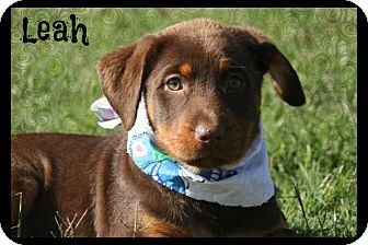 Rottweiler Mix Puppy for adoption in Cranford, New Jersey - Leah