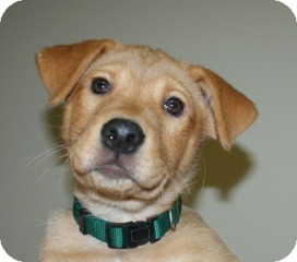 Border Collie Mix Puppy for adoption in Nashville, Tennessee - Frankie