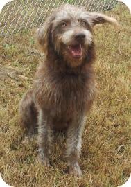 German Wirehaired Pointer Mix Dog for adoption in Columbus, Georgia - Mocha 0463