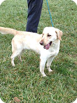 Labrador Retriever Mix Dog for adoption in Zanesville, Ohio - # 514-12 ADOPTED!