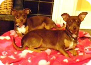 Italian Greyhound/Chihuahua Mix Dog for adoption in Sugar Land, Texas - Noel