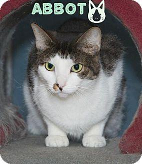 Domestic Shorthair Cat for adoption in River Edge, New Jersey - Abbott