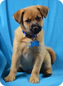 German Shepherd Dog/Retriever (Unknown Type) Mix Puppy for adoption in Minneapolis, Minnesota - Gibson