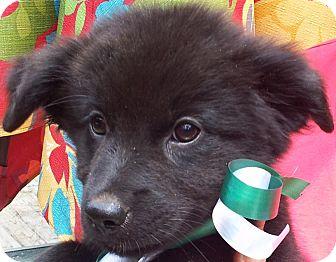 Labrador Retriever/Flat-Coated Retriever Mix Puppy for adoption in Groton, Massachusetts - BITTY