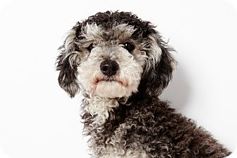 Poodle (Miniature) Dog for adoption in New York, New York - Mickey