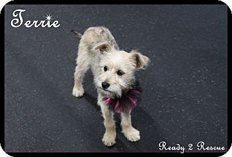 Border Terrier/Terrier (Unknown Type, Small) Mix Puppy for adoption in Rockwall, Texas - Terrie