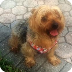 Yorkie, Yorkshire Terrier Dog for adoption in Mobile, Alabama - Tater Tot
