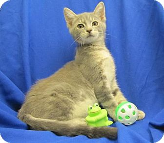 Domestic Mediumhair Kitten for adoption in Port St. Joe, Florida - Dusky